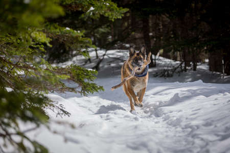 German Shepherd Dog running with stick in mouth down snow covered trail in woods