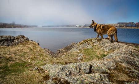 Wet German Shepherd Dog standing by Quidi Vidi Lake in St. Johns, Newfoundland and Labrador