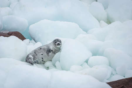 Young harp seal on pack ice and coastal rocks of Newfoundland and Labrador Imagens