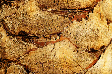 date tree: Date Palm tree trunk rough textured surface of the trunk of a date palm tree Stock Photo
