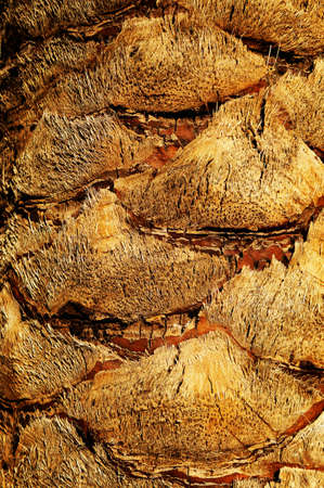date palm tree: Date Palm tree trunk rough textured surface of the trunk of a date palm tree Stock Photo