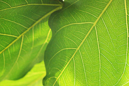 peepal tree: abstract background of Bodhi or Peepal Leaf from the Bodhi tree