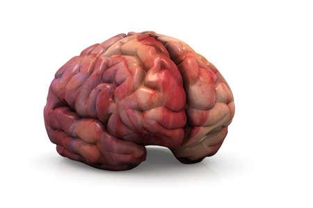 cerebro humano: Cerebro Humano Aislado Foto de archivo