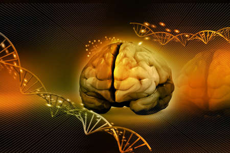 medulla: human brain and dna