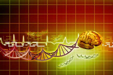 oblongata: Human brain  Stock Photo