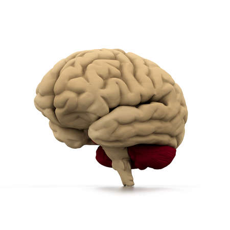 anatomy brain: Human brain  Stock Photo