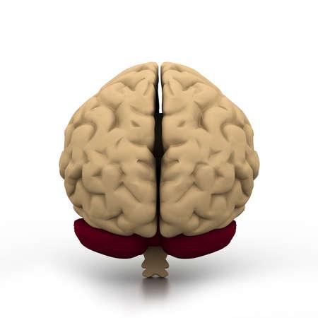 pons: Human brain  Stock Photo