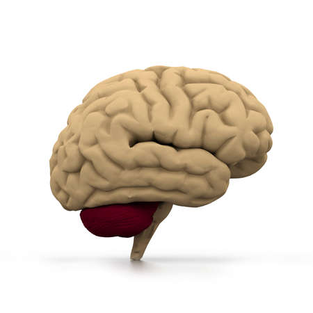 cortex: Human brain  Stock Photo