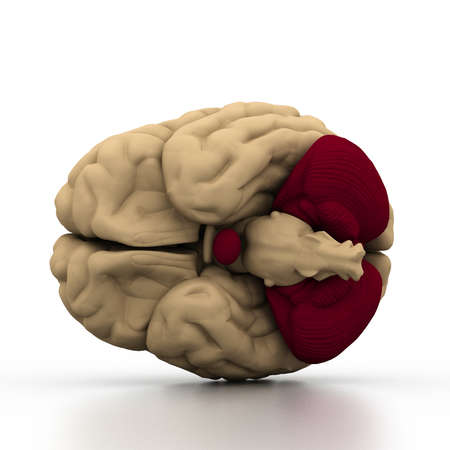 medulla: Human brain  Stock Photo