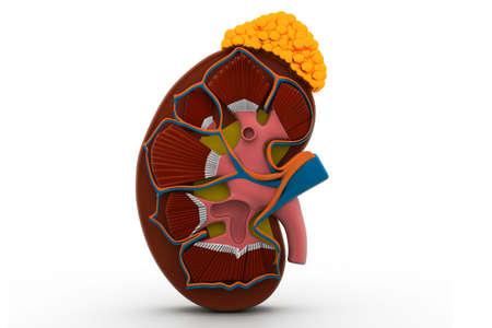 human kidney photo