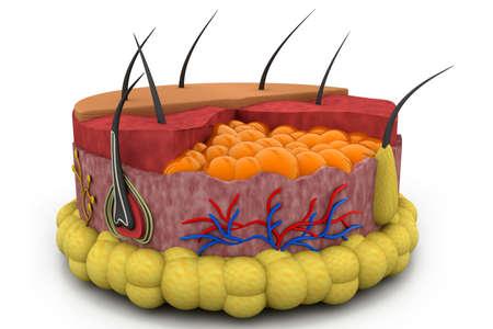 blood supply: Digital illustration of human skin anatomy Stock Photo