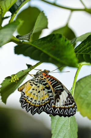 eggs laying butterfly photo