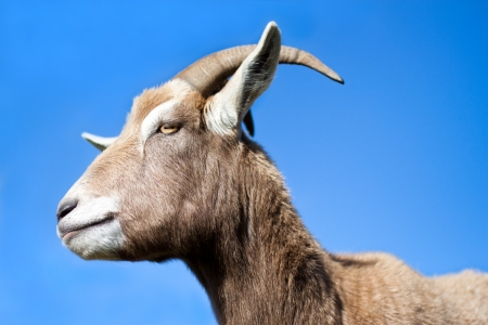 Goat standing side profile with blue sky background