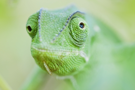 Green chameleon looking in opposing directions