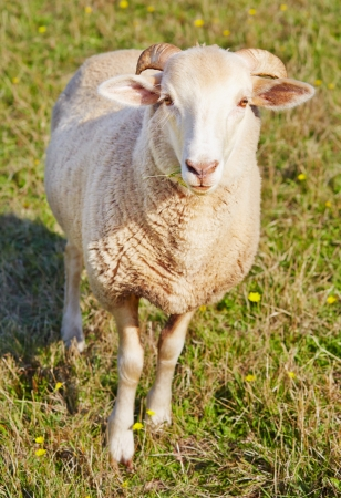 Young ram munching on grass Stock Photo