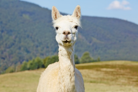 Cute, white alpaca portrait with scenic copy space
