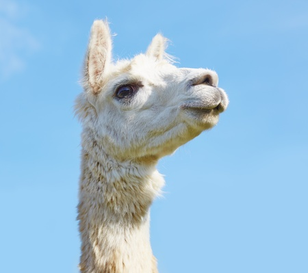 Alpaca with head held high in the sky