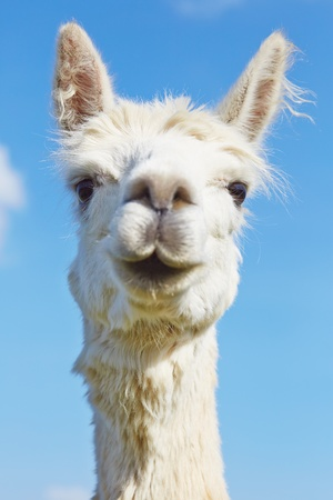 Fluffy alpaca with head held high  Stock Photo