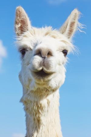 Fluffy alpaca with head held high  photo