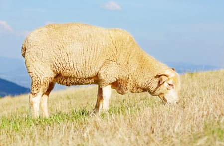 Side profile of a sheep eating grass with scenic vista in background  Stock Photo