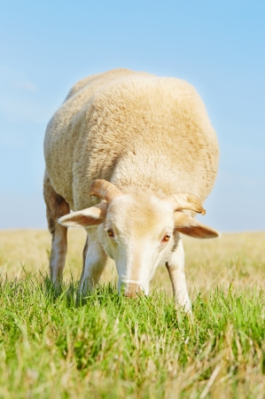 Young ram eating grass in a field with blue sky background Stock Photo