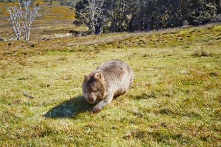 Wombat crossing grasslands in the Cradle Mountain Lake St Clair National Park in Tasmania, Australia Stock Photo