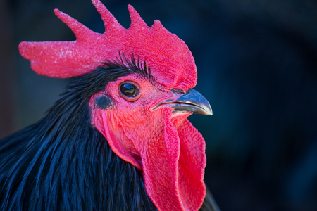 Black feathered Australorp rooster