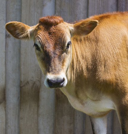 Front profile of a Jersey cow standing in front of a wooden background wall. Includes copy space.