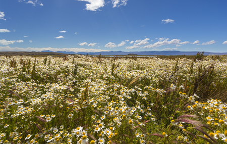 Field of daisies and papyruses in Patagonia region of Argentina
