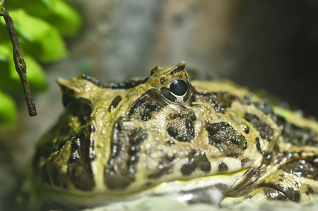pacman: Close-up shot of a  frog in glass cabinet Stock Photo
