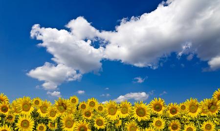 Sunflower field beneath the blue sky
