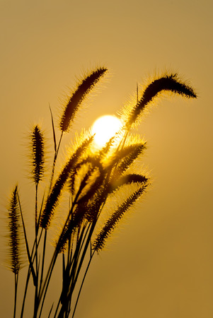 wild grass: Wild grass against the sunset. Stock Photo