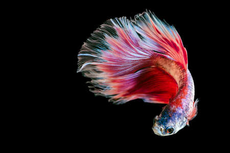 fineart: Capture the moving moment of  fighting fish isolated on black background