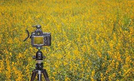 capturing: Camera on tripod  capturing yellow sunhemp field