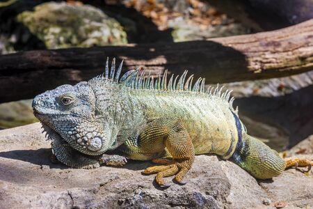 Green iguana (Iguana iguana rhinolopha). Green iguana wild life animal. Focus at iguana eye.