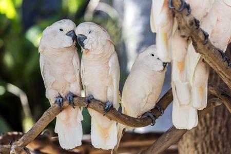 white perch: Cute  salmon-crested cockatoo