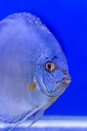 A photo of a blue symphysodon discus or Pompadour This photo was taken at Thailand fish show  photo