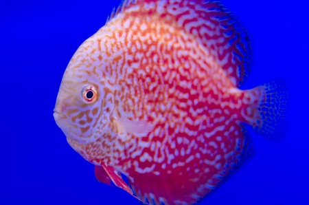 A photo of a red symphysodon discus or Pompadour This photo was taken at Thailand fish show  photo