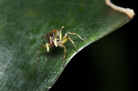 salticidae: Jumping Spider with The Red Flower is a Jumping Spider in Salticidae family