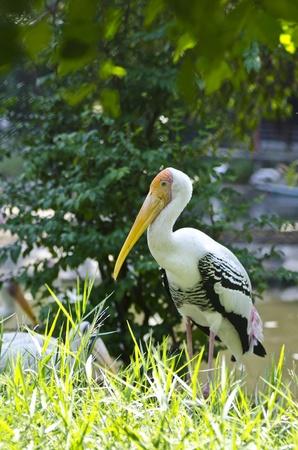 A photo of Painted Stork. Scientific name is Mycteria leucocephala. Stock Photo