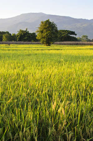 A photo of Rice Farm with mountain background
