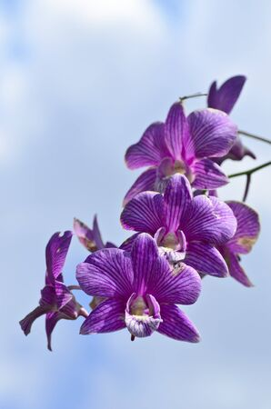 Ths is a Purple orchid that called Dendrobium madame pompadour  photo