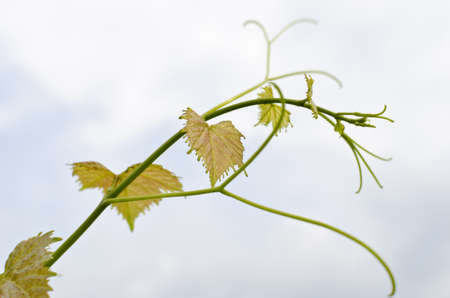 A photo of Branch of Grape Vine on Blue Sky  photo