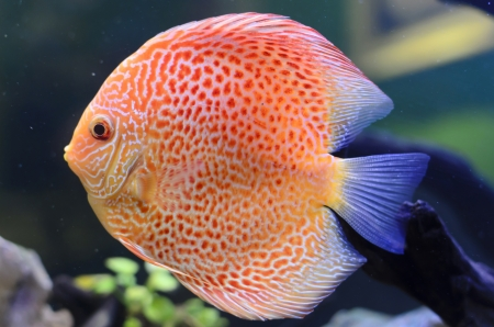 discus: Discus fish, Orange Symphysodon Discus in aquarium.