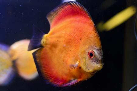 Discus fish, orange Symphysodon Discus in aquarium. Stock Photo - 16792181