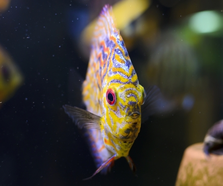 Discus fish, yellow Symphysodon Discus in aquarium. Stock Photo - 16792187