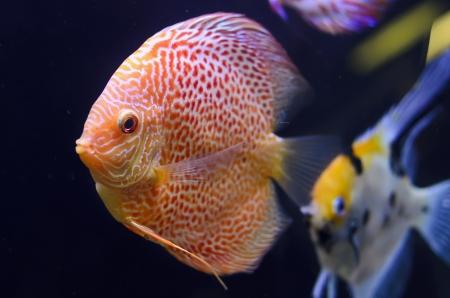 symphysodon discus: Discus fish, red Symphysodon Discus in aquarium.