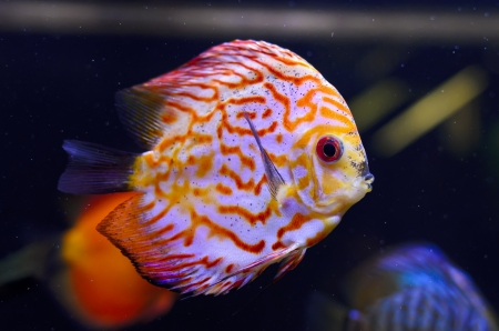 Discus fish, red Symphysodon Discus in aquarium. photo