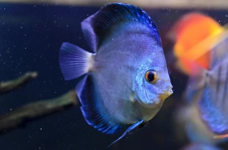 Discus fish, blue Symphysodon Discus in  aquarium. Stock Photo - 16792216
