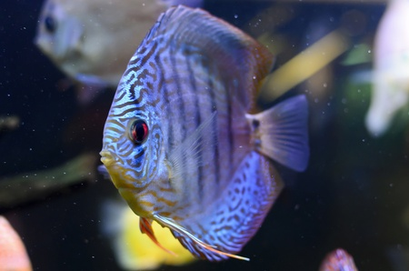 Discus fish, blue Symphysodon Discus in  aquarium. Stock Photo - 16792188